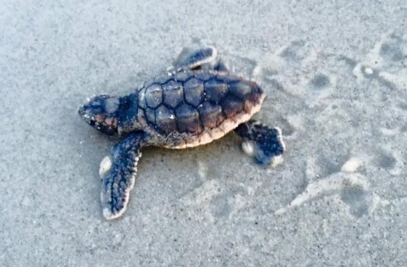 Baby hatchling sea turtle on the beach