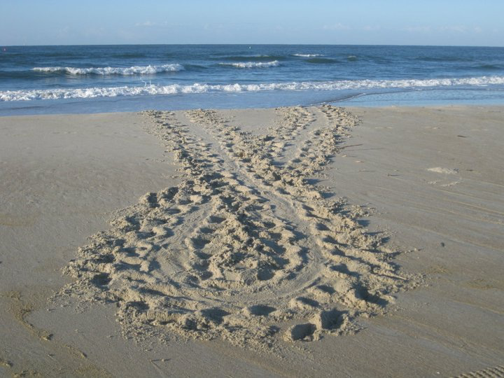 A sea turtle's false crawl track on a beach
