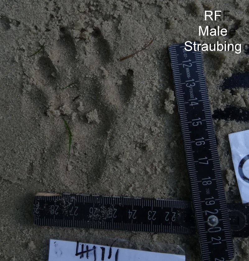 otter footprint in sand