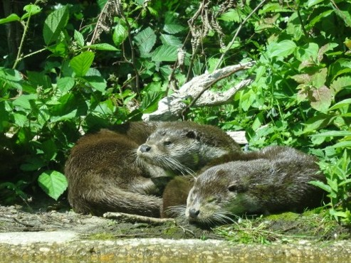 Otters rest at a zoo in Germany
